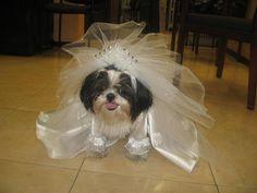 Fotos de perros disfrazados: Shih Tzu como novia