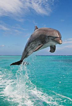 one bottlenose dolphin jumping   Marine Photography by Brandon Cole