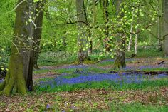 Bluebell woods at Basildon Park Reading England photo picture poster print art #bluebells #photooftheday #picoftheday #art