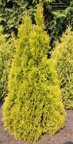 Thuja occidentalis 'Golden Smaragd' -westerse levensboom- goudkleurige conifeer met een kegelvormige groei, wintergroen kan in de zon of halfschaduw.