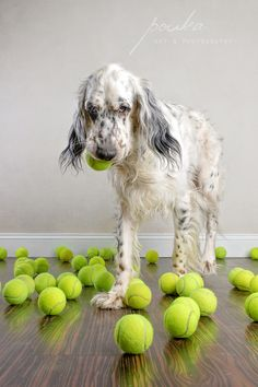 """""""It's Perfect."""" An English Setter dog chooses the perfect ball from a vast assortment. Photography by Pouka Fine Art Pet Portaits."""