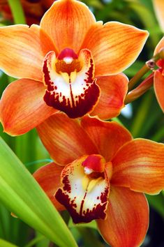 Cymbidium | Orange Cymbidium Orchid-Macro Orchid-Cymbidium Orchid-Tropical Orchid ...