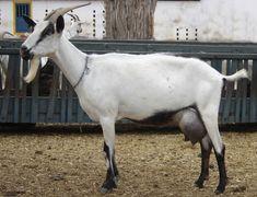 Sisal, Cabras Saanen, Goats, Horses, Dark Spots, Raising Goats, Natural Selection, Animals, Castle