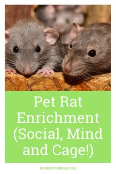 Pet Rat Enrichment (Social, Mind, And Cage! Pet Rat Cages, Rare Animals, Strange Animals, Hairless Rat, Pet Rats, Pets, Rat Cage Accessories, Rat Care, Hamster Life
