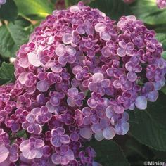 *Hortensia Hydrangea - Find a place for this!