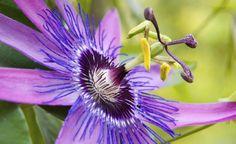 Die Passionsblume: kletternder Blütenstar und Sichtschutz -  Die Passionsblume eignet sich als Kletterpflanze hervorragend als Sichtschutz. Sie bringt den ganzen Sommer unermüdlich ihre filigranen Blüten hervor. Damit sorgt sie für tropisches Flair und sollte an einer gut sichtbaren Stelle in Sitzplatznähe stehen.