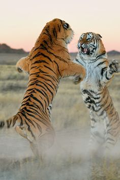 Amazing wildlife - Tigers photo #tigers by Marsel van Oosten
