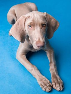 Q: I'm thinking of getting an identification microchip for my Weimaraner puppy, Wesley. I just want to know: Is this considered humane?
