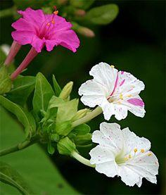Flores de bela-da-noite - O padrão de manchas e listras pode variar bastante de flor para flor na mesma planta de bela-da-noite