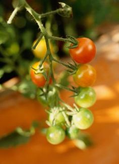 How Many Tomato Plants Can Grow In A 5-gallon Bucket?
