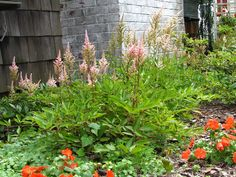 Self-seeding perennial flowers