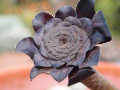 Black Rose Cactus