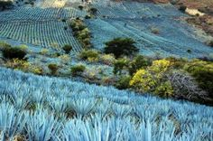 The valleys of El Tecuane and Santa Rosa in Jalisco are filled with fields of blue agaves (Tequilana weber azul), which appear as lakes from a distance. This portion of the Mexican countryside was declared a UNESCO World Heritage Site in © John Pint, Agaves, Tequila, Mexican Restaurant Design, Mexican Restaurants, World Of Color, Mexico Travel, Amazing Nature, Pretty Pictures, Countryside