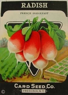 Radish ~~  Bluehour Studio The Art and Illustration of Debbie Styer: Just add ...