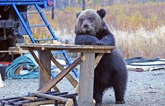 What do I have to do to get a beer around here?   Bears Doing Human Things