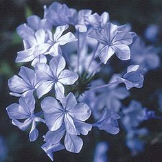 Cape leadwort. Evergreen flowering shrub. Ground-cover or container plant. 1-3ft tall & 1-3ft wide.