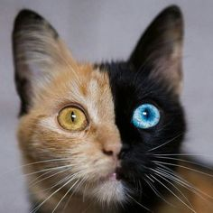 awesome Odd Eyed Cats How Amazing! #animalphotography,