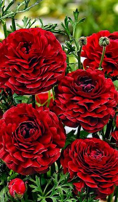 Ranunculus 'Pauline Chocolate' - Flower bulbs from Spalding Bulb