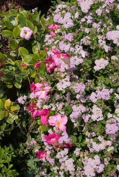 Mandevilla Alice du Pont and Spiraea japonica   Plant & Flower Stock Photography: GardenPhotos.com