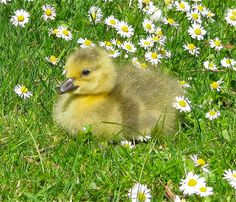 A Canada Gosling, Kew Gardens   Flickr - Photo Sharing!
