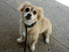 TO BE DESTROYED - 08/29/14 Manhattan Center   My name is RICO. My Animal ID # is A1011800. I am a neutered male tan and white chihuahua lh mix. The shelter thinks I am about 7 YEARS old.  I came in the shelter as a OWNER SUR on 08/25/2014 from NY 10472, owner surrender reason stated was CHILDCONFL.  https://www.facebook.com/Urgentdeathrowdogs/photos/a.611290788883804.1073741851.152876678058553/861381347208079/?type=3&theater