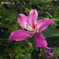 ชงโคฮอลแลนด์ PANTIP.COM : J12585095 โพสต์ไม้ดอกหอม ชิงกิ่งสดถ้วยทองค่ะ{แตกประเด็นจาก J12584374} [ต้นไม้]