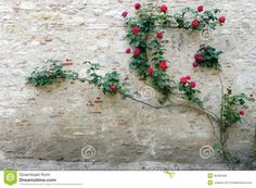 Chateau Stone Wall Rose Climber Stock Photo - Image of garden, plant: 32460490 Beautiful Flowers Pictures, Flower Pictures, Red Flowers, Paper Flowers, Cracked Wall, Rose Wall, Climbing Vines, Plant Wall, Outdoor Landscaping