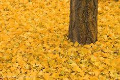 Ginkgo Biloba golden yellow leaves  Fall Foliage by Rachel Cohen