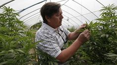 Major buzz kill for Alzheimer's research: Government view of marijuana | The Senior List