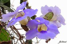 Tumbérgia-azul – Thunbergia grandiflora  Flowers attractive for hummingbirds