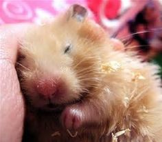 Its a shame that Boris wont fall asleep on me. Hammy hamster used to do it all the time xx Baby Hamster, Hamster Care, Hamster Treats, Hamster Stuff, Hamsters As Pets, Cute Hamsters, Rodents, Rats, Animals And Pets