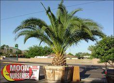 Pineapple Palm for Sale | Cold Hardy Arizona Palm Trees - Moon Valley Nursery