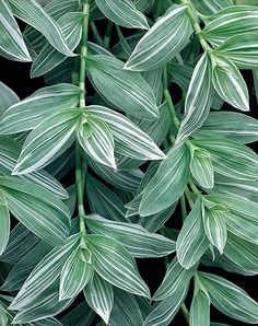 Tradescantia Albiflora Pletyka-A Beautiful Variety Of The Wandering Jew Plant We All Know. The most effective method to Grow Care Tips: Tropical Garden, Tropical Plants, Garden Plants, Indoor Plants, Wandering Jew, Foliage Plants, Plant Species, Growing Plants, Plant Decor