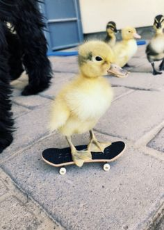 Duck Pictures, Baby Animals Pictures, Cute Animal Pictures, Animals And Pets, Cute Animal Memes, Cute Funny Animals, Cute Dogs, Cute Babies, Pet Ducks