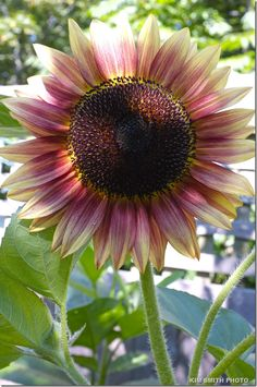 Pink Sunflower!