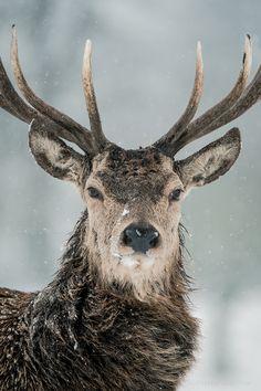 Red Deer Winter Portrait (by Old-Man-George)