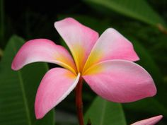 "Cancun Pink CUTTING   ~size of bloom: 3.5""-4"" some can get up to 5""  ~fragrance: smells like sweet cinnamon  ~growth: upright, semi compact, great symmetrical grower   Picture courtesy of Plumeria Hut Nursery"