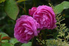 Louise Odlier  ruusu