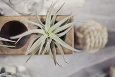 air plants - I love them as wedding favor!