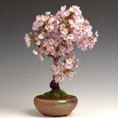 人気桜盆栽:御殿場桜(瀬戸焼鉢)Popular Sakura Bonsai: Gotemba Sakura (Seto ware bowl)