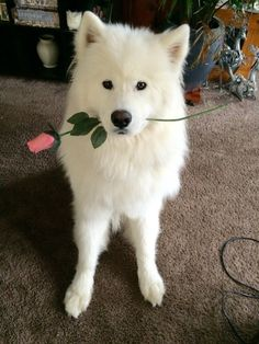 21 Reasons Why Samoyeds Are Perfect Clouds Of Joy