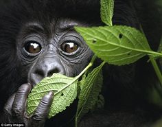 The presenter claimed he was so overcome looking into the eyes of a baby mountain gorilla ...