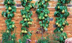 Espalier--The most important advantage of espalier is being able to increase the growth of a branch by training a fruit tree up vertically.  Keeping your fruit trees in a narrow space? This espaliered pear was used to soften a harsh old pitted brick wall.