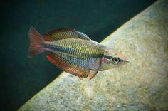 Banded Rainbowfish (Melanotaenia trifasciata) from Russell Creek, Bloomfield area. Photo: Keith Martin.
