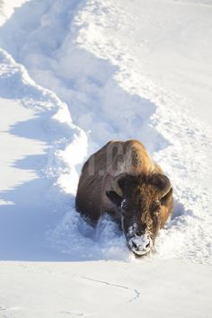 Wyoming, Yellowstone National Park, Hayden Valley, Bison Breaking Trail in Snow…