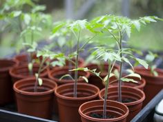Growing Tomatoes From Seed Tomato Seedlings - Tomato plants prefer particular growing conditions and they will grow best when given them. Here are 10 tips to plant and grow delicious tomatoes.