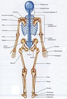 Human Anatomy Bones Human Bone Structure Back Human Back Bones Anatomy Human Anatomy Human Skeleton Bones, Human Body Bones, Human Skeleton Anatomy, Human Anatomy Drawing, Human Body Anatomy, Human Anatomy And Physiology, Muscle Anatomy, Anatomy Bones, Fitness Exercises
