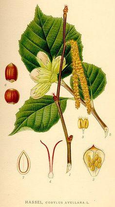 Hazel nut botanical illustration @wikimediacommons #illustration #botanical #print