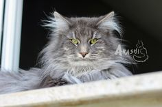 Arashi Connor ♠ Norwegian Forest Cat ♠ 3 years old ♠ From my breed.