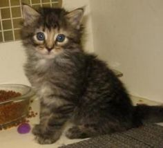 Maine Coon Kittens is an adoptable Maine Coon Cat in Dallas, TX. We have several Maine coon kittens, including a tortie not shown here. The calico and tortie are females and the others are males. They...